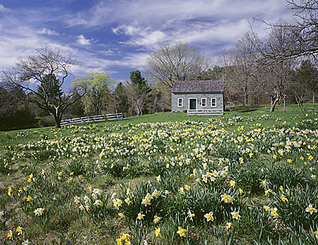 Daffodils, Lime Rock, CT